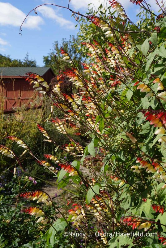 Spanish flag (Mina lobata); Nancy J. Ondra at Hayefield