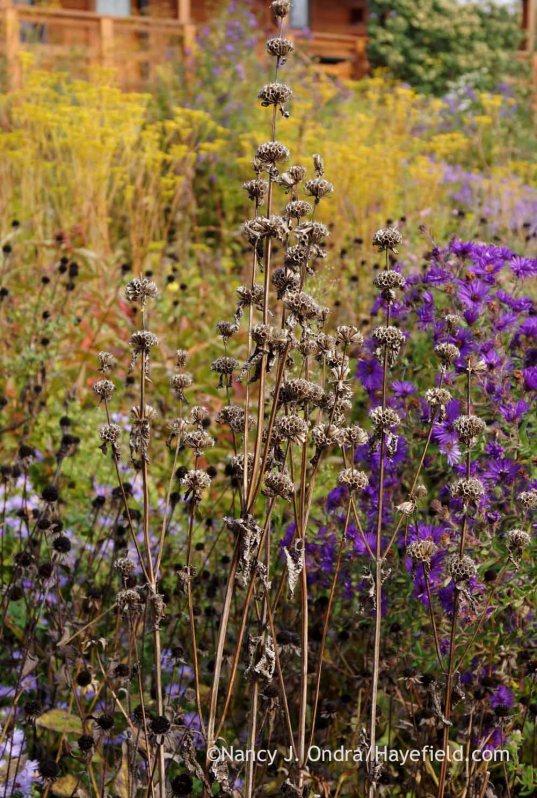 Tuberous-rooted Jerusalem sage (Phlomis tuberosa) seedheads; Nancy J. Ondra at Hayefield