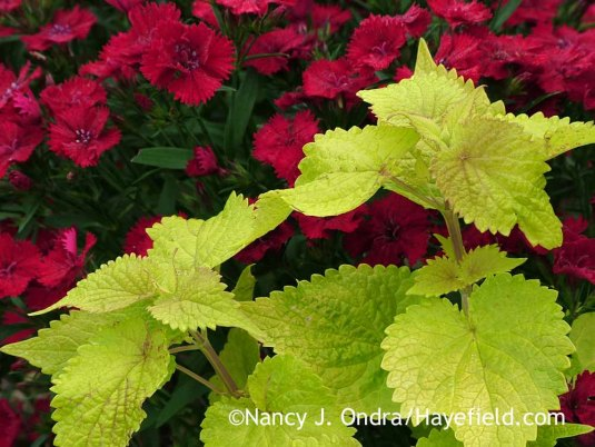 Agastache foeniculum Golden Jubilee with Dianthus Princess Scarlet; Nancy J. Ondra at Hayefield