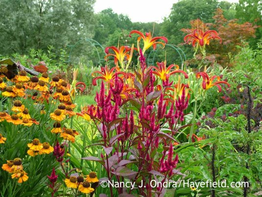 Celosia spicata Mega Punk with Hemerocallis Nonas Garnet and Helenium; Nancy J. Ondra at Hayefield