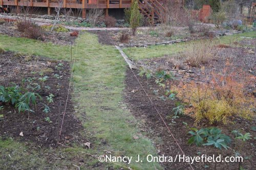 Lenten roses (Helleborus x hybridus) along the Diagonal Path December 2015; Nancy J. Ondra at Hayefield