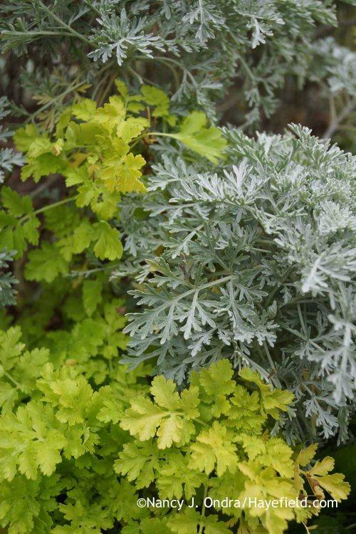 Tanacetum parthenium 'Aureum' and Artemisia 'Powis Castle'; Nancy J. Ondra at Hayefield