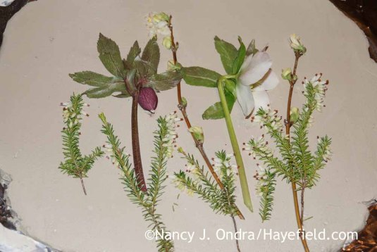 Helleborus x hybridus Lonicera fragrantissima and Erica carnea December 31 2015; Nancy J. Ondra at Hayefield