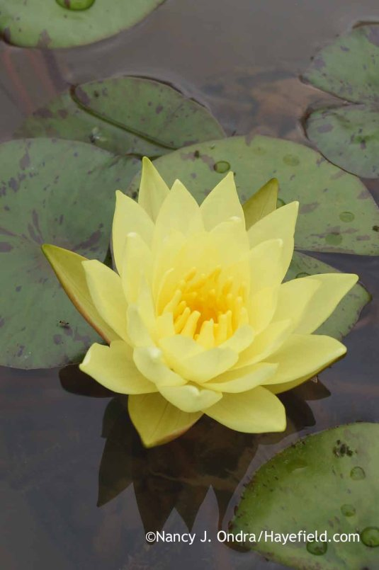 'Chromatella' water lily (Nymphaea) is adaptable enough to grow beautifully in a container. I had this one in a 1-foot-deep galvanized tub. [Nancy J. Ondra at Hayefield]