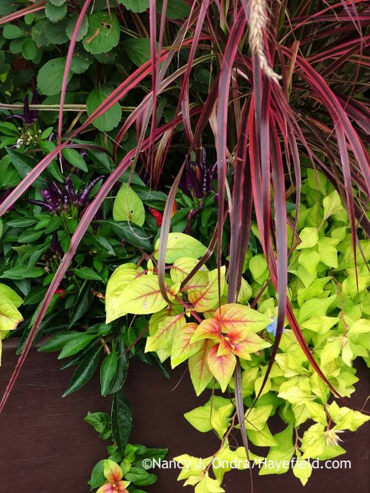 Vibrant autumn colors: 'Fireworks' fountain grass (Pennisetum setaceum) with 'My Love' Chinese plumbago (Ceratostigma willmottianum), 'Autumnale' fuchsia (Fuchsia), and 'Sangria' ornamental pepper (Capsicum annuum) [Nancy J. Ondra at Hayefield]