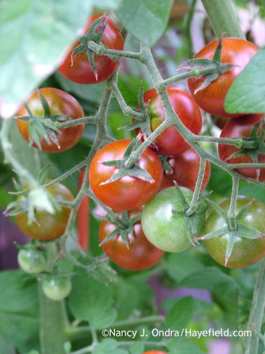 'Black Cherry' tomato in mid-August; Nancy J. Ondra at Hayefield
