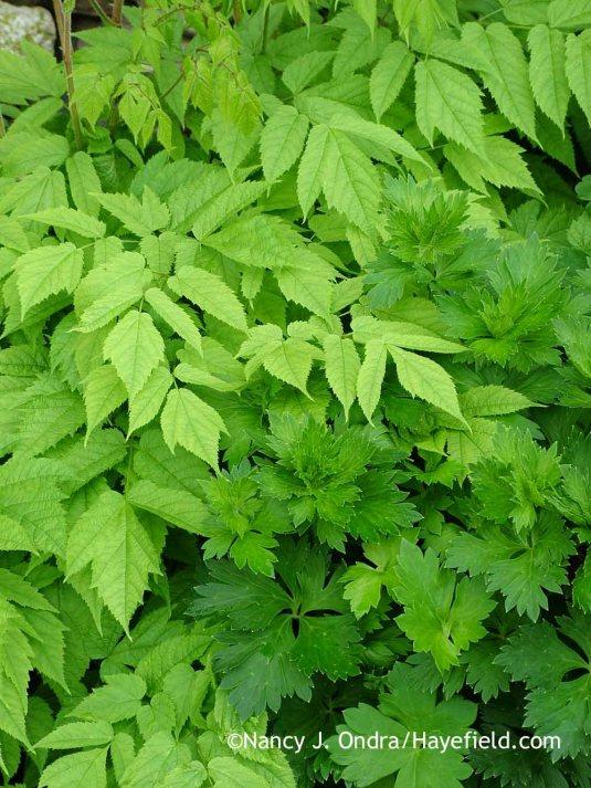 Azure monkshood (Aconitum carmichaelii Arendsii Group) foliage with false goat's beard (Astilbe biternata) [May 26, 2005]; Nancy J. Ondra at Hayefield