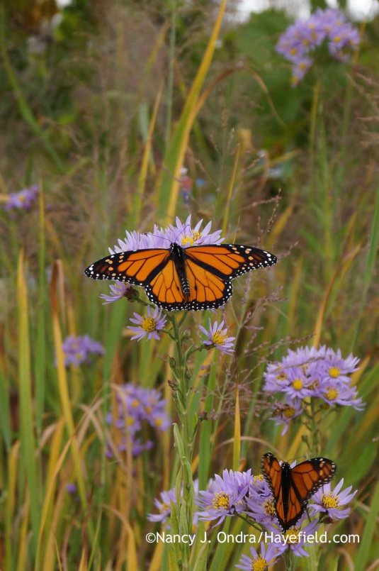 Monarchs sipping on Tatarian aster (Aster tataricus) [October 14, 2014]; Nancy J. Ondra at Hayefield