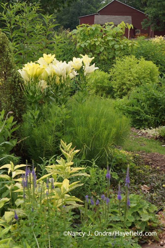 The summer foliage of Arkansas bluestar (Amsonia hubrichtii) fills in perfectly around the stems of true lilies (Lilium)--like this 'Freya' Orienpet--and its fine texture makes a pleasing contrast to the bold lily blooms. [Nancy J. Ondra at Hayefield]
