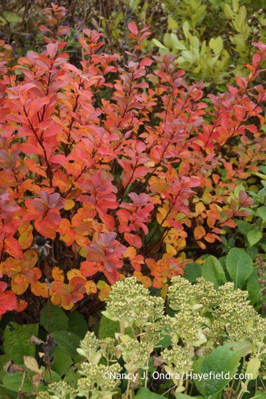 'Tor' birchleaf spirea (Spiraea betulifolia) in fall color with Sedum alboroseum 'Mediovariegatum' [October 13, 2014]; Nancy J. Ondra at Hayefield