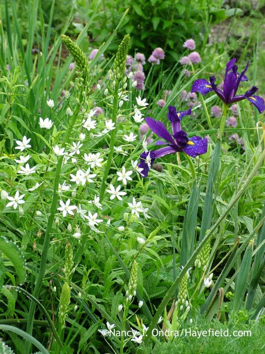 'Rendezvous' Dutch iris (Iris) with giant starflower (Ornithogalum magnum); Nancy J. Ondra at Hayefield