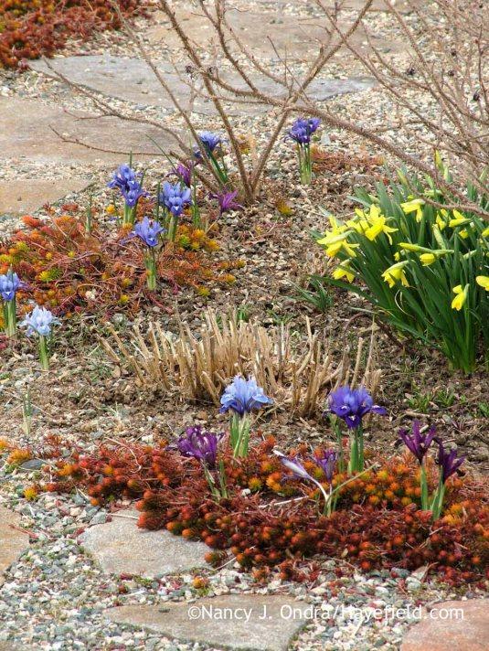 Reticulated iris (Iris reticulata) with 'February Gold' daffodil (Narcissus); Nancy J. Ondra at Hayefield