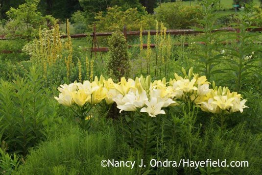 'Freya' Longiflorum-Asiatic Hybrid lily (Lilium) with nettle-leaved mullein (Verbascum chaixii); Nancy J. Ondra at Hayefield