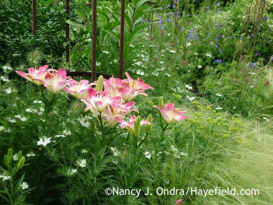 'Lollypop' Asiatic lily (Lilium) with 'Cramers' Plum' love-in-a-mist (Nigella damascena) and Mexican feather grass (Stipa [Nassella] tenuissima); Nancy J. Ondra at Hayefield
