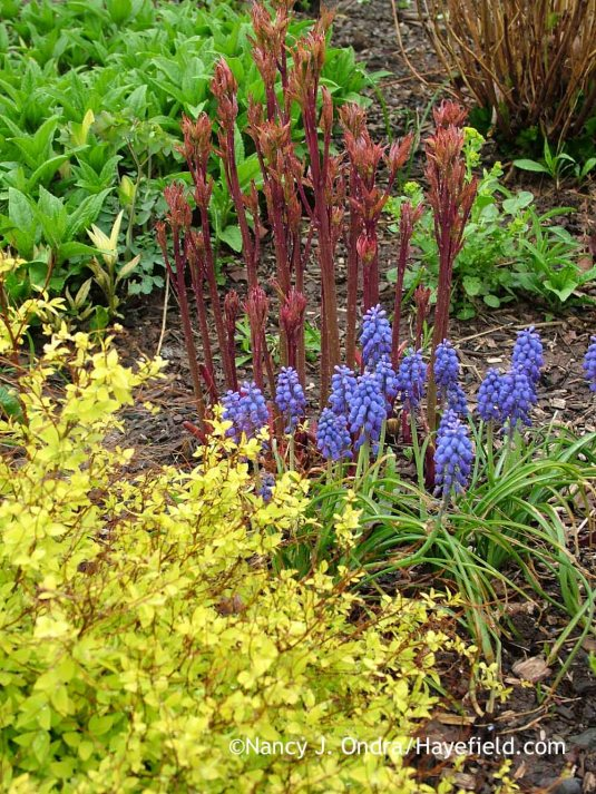 'Blue Spike' grape hyacinth (Muscari armeniacum) with the new shoots of an herbaceous peony (Paeonia lactiflora); Nancy J. Ondra at Hayefield