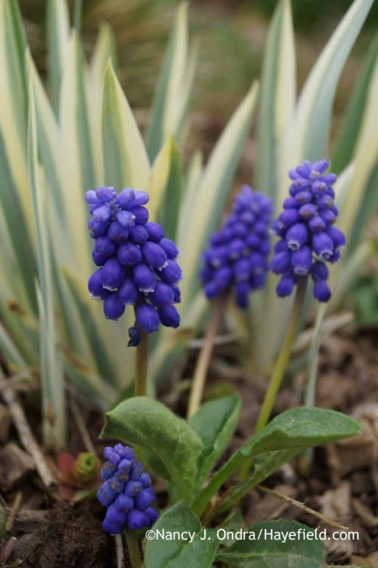 Grape hyacinth (Muscari armeniacum) with white-variegated sweet iris (Iris pallida 'Argentea Variegata'); Nancy J. Ondra at Hayefield