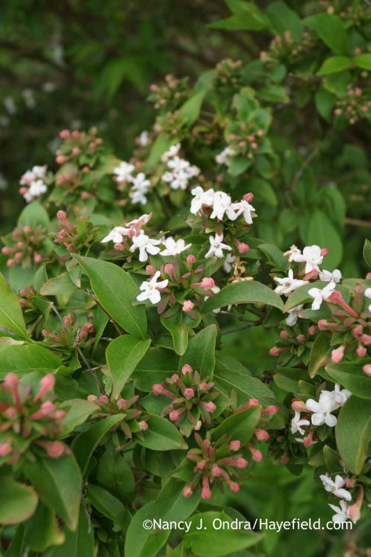 The richly scented flowers of fragrant abelia (Abelia mosanensis) began opening just a few days ago but already fill the cottage garden with their perfume. [Nancy J. Ondra at Hayefield]