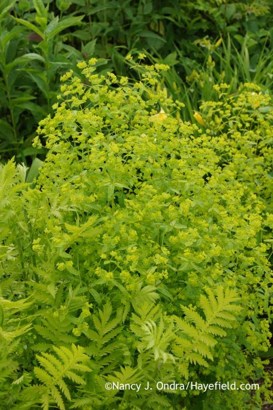 Upright spurge (Euphorbia stricta)--one of my favorite fillers for summer chartreuse--with the ferny foliage of yellow-leaved tansy (Tanacetum vulgare 'Aureum') [Nancy J. Ondra at Hayefield]
