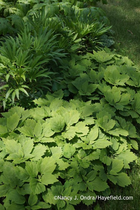 Allegheny pachysandra (Pachysandra procumbens) [Nancy J. Ondra at Hayefield]
