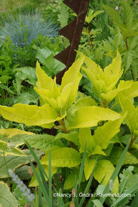 'Sunny Side Up' pokeweed (Phytolacca americana) [Nancy J. Ondra at Hayefield]