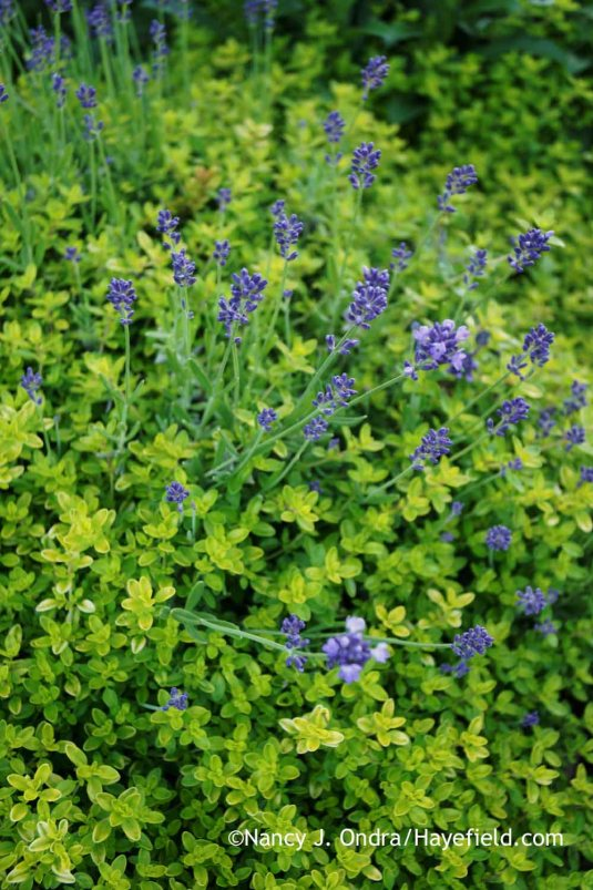 'Munstead' English lavender (Lavandula angustifolia) underplanted--or is it aroundplanted?--with 'Clear Gold' thyme (Thymus) [Nancy J. Ondra at Hayefield]