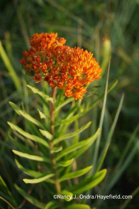 Orange milkweed (Asclepias tuberosa) [Nancy J. Ondra at Hayefield]