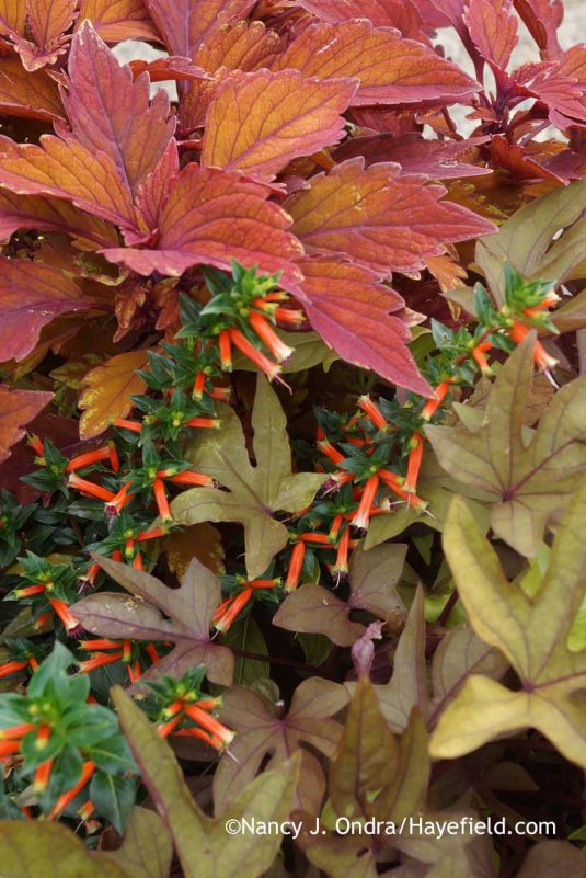 'Spitfire' coleus with 'Vermillionaire' firecracker plant (Cuphea) and 'Sweet Caroline Bronze' sweet potato vine (Ipomoea batatas) [Nancy J. Ondra at Hayefield]