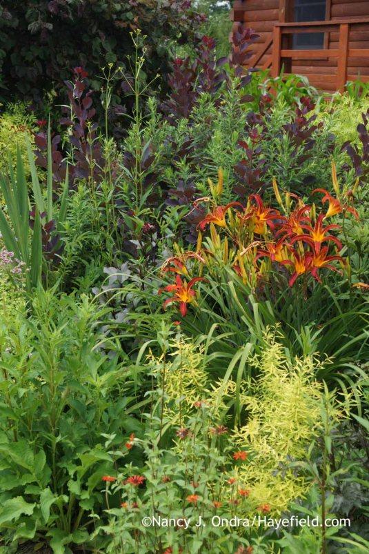 'Nona's Garnet Spider' daylily (Hemerocallis) with 'Red Spider' zinnia (Zinnia tenuifolia), Mellow Yellow spirea (Spiraea thunbergii 'Ogon'), and 'Royal Purple' smoke bush (Cotinus coggygria) [Nancy J. Ondra at Hayefield]
