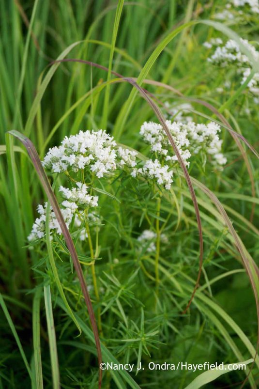 Narrowleaf mountain mint (Pycnanthemum tenuifolium) [Nancy J. Ondra at Hayefield]