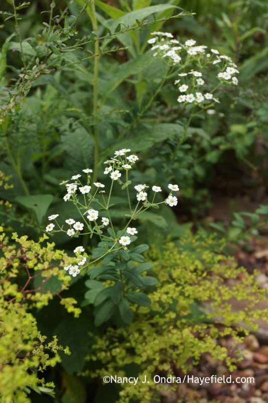 Flowering spurge (Euphorbia corollata) [Nancy J. Ondra at Hayefield]