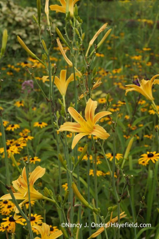 The daylily (Hemerocallis) season was short and unspectacular this summer, but here's good old 'Autumn Minaret' doing its best to beautify the side garden even under tough conditions. [Nancy J. Ondra at Hayefield]