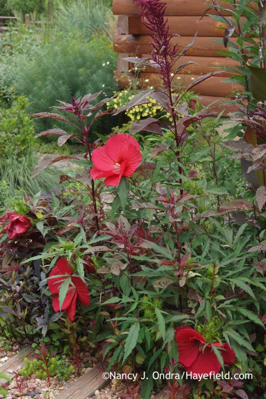 Most of my hardy hibiscus plants are wilted and dying, but this 'Fireball' is still looking good--maybe because its deeply cut leaves don't lose as much water as the broad-leaved ones. [Nancy J. Ondra at Hayefield]