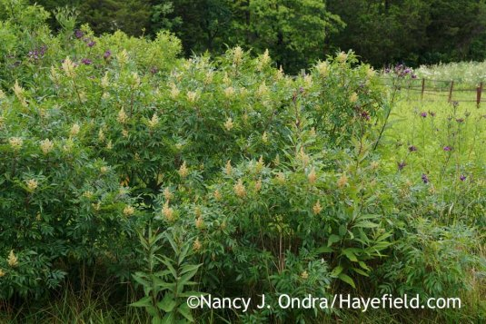It took a while, but the shining sumac (<em>Rhus copallinum</em>) is creating a broad, beautiful patch in the lower meadow. [Nancy J. Ondra at Hayefield]