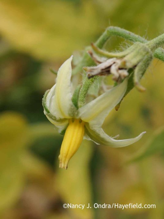 The flowers of 'Livingston's Honor Bright' ('Lutescent') tomato are more on the whitish side. [Nancy J. Ondra at Hayefield]