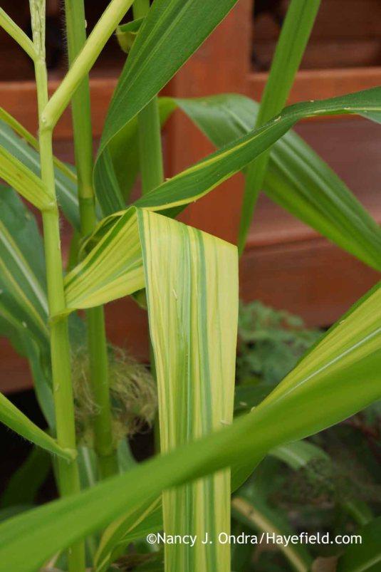 'Old Gold' field corn (Zea mays) [Nancy J. Ondra at Hayefield]