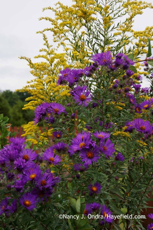 New England aster (Symphyotrichum novae-angliae) with goldenrod (Solidago) [Nancy J. Ondra at Hayefield]