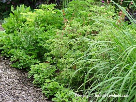Scented geraniums (Pelargonium) with lemon grass (Cymbopogon citratus) and alpine strawberries (Fragaria vesca) [Nancy J. Ondra/Hayefield.com]