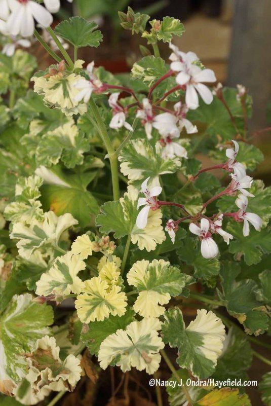 'Snowy Nutmeg' scented geranium (Pelargonium fragrans) [Nancy J. Ondra/Hayefield.com]