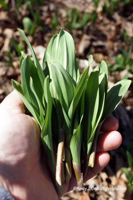 Ramps (Allium tricoccum) [Nancy J. Ondra/Hayefield.com]