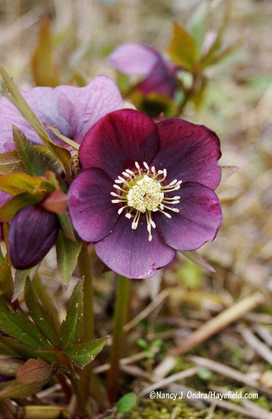 Lenten rose (Helleborus x hybridus) [Nancy J. Ondra/Hayefield.com]