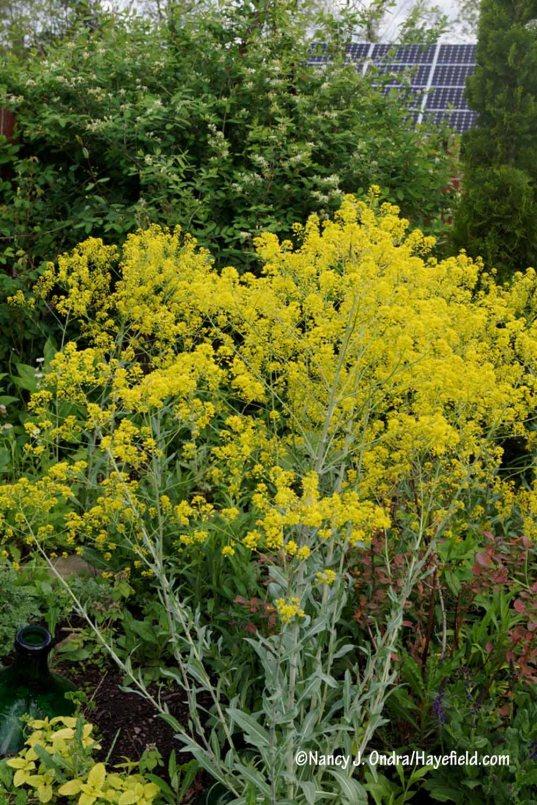 Dyer's woad (Isatis tinctoria) [Nancy J. Ondra/Hayefield.com]