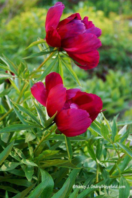 Paeonia sp. [Nancy J. Ondra/Hayefield.com]