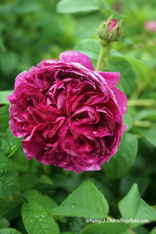 'Belle de Crecy' Gallica rose: richly perfumed and packed with petals that dry well for potpourri [Nancy J. Ondra/Hayefield.com]