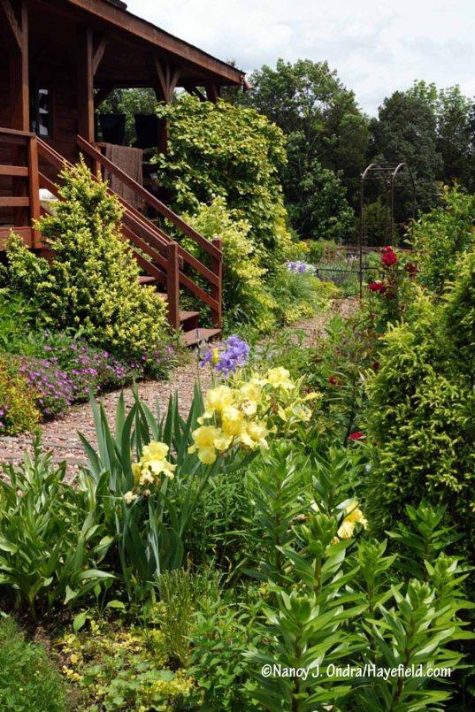 Side Garden path with 'Harvest of Memories' hybrid bearded iris, 'Dr. Huey' rose, 'Latifolia Maculata' boxwood (Buxus sempervirens), golden mockorange (Philadelphus coronarius 'Aureus'), and golden wayfaringtree (Viburnum lantana 'Aurea') [Nancy J. Ondra/Hayefield.com]