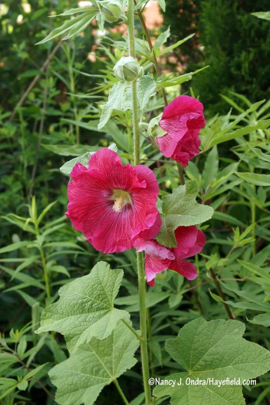 """Hollyhock! It's just the """"ordinary"""" Alcea rosea, but it's not at all common for any hollyhock to look this good here. The leaves are almost invariably disfigured with rust, weakening the plants so much that they produce few, if any, blooms. But this year, several plants are flowering in various spots, and they are perfectly pristine. The Japanese beetles will probably start munching on them soon, but I'm enjoying the plants while they last. [Nancy J. Ondra/Hayefield.com]"""