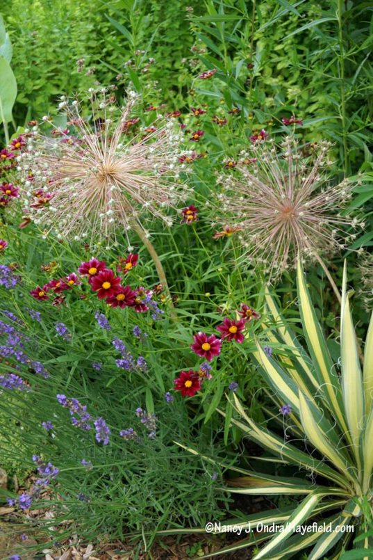 Star of Persia (Allium christophii) is just as handsome in seed as in flower. Here it's with 'Mercury Rising' coreopsis (Coreopsis), Phenomenal lavender (Lavandula x intermedia 'Niko'), and 'Color Guard' yucca (Yucca). To be perfectly honest, this combo is a bit staged, because the larger allium head was actually growing right in front of the yucca. But when the heads are dry like this, it's easy to cut them at ground level and move them around as you like! [Nancy J. Ondra/Hayefield.com]