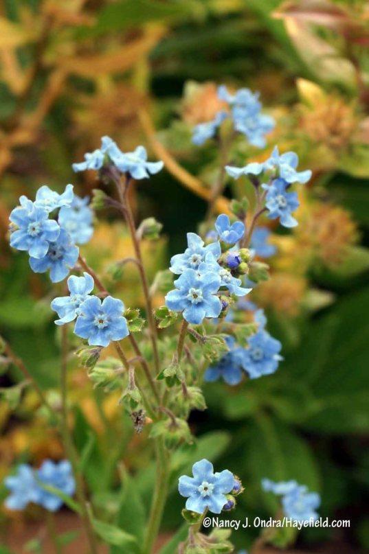 Chinese forget-me-not (Cynoglossum amabile) [Nancy J. Ondra/Hayefield.com]