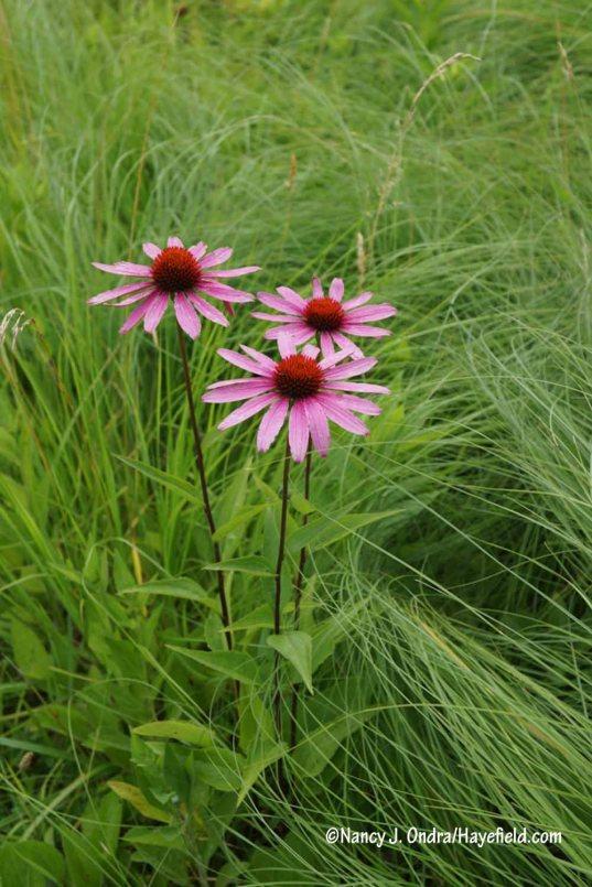 Purple coneflower (Echinacea purpurea) that seeded into the meadow [Nancy J. Ondra/Hayefield.com]