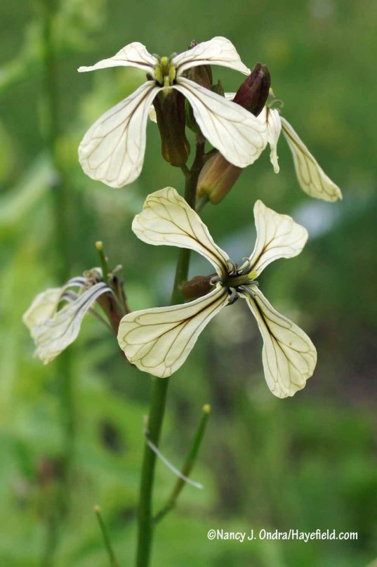If this intriguing flower were on some obscure rock-garden plant, it would probably be much in demand. But it's just ordinary arugula (Eruca sativa). [Nancy J. Ondra/Hayefield.com]