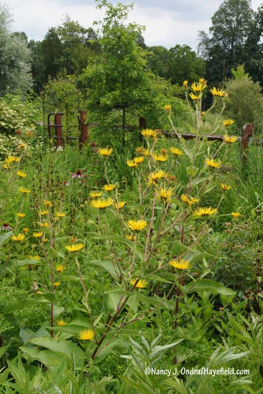 Flowering for the first time here: giant fleabane (Inula magnifica) [Nancy J. Ondra/Hayefield.com]